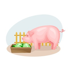 Pig in Cattle Pen or Pennage Eating Cabbage Vector Composition