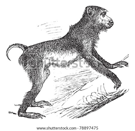 Pig-tailed macaque or Macaca nemestrina, vintage engraving. Old engraved illustration of Pig-tailed macaque climbing on the tree. Trousset encyclopedia (1886 - 1891)