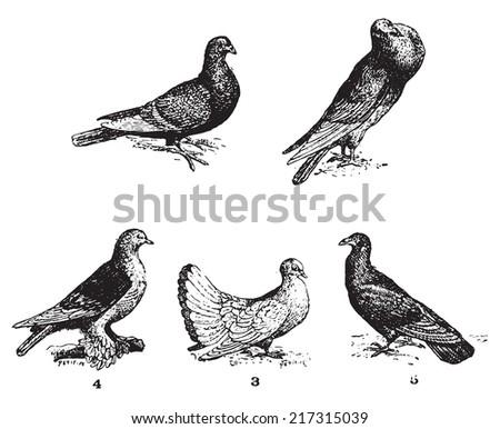 pigeons  vintage engraved...