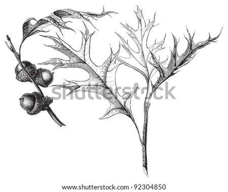 Pin oak (Quercus palustris) / vintage illustration from Meyers Konversations-Lexikon 1897