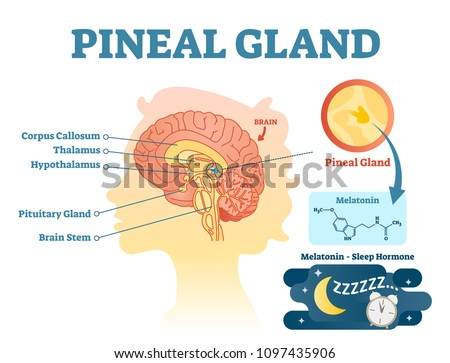 Pineal gland anatomical cross section vector illustration diagram with human brains. Medical information poster. Stock photo ©