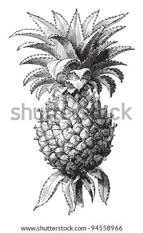 Pineapple (Ananas comosus) / vintage illustration from Meyers Konversations-Lexikon 1897 - stock vector