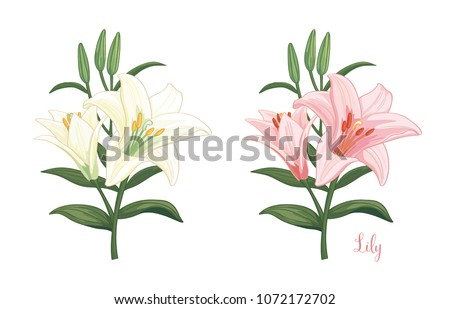 pink and white lily flower on white background. Vector set of blooming floral.
