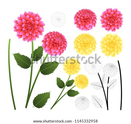Pink and Yellow Dahlia with Outline isolated on White Background. Mexico's national flower. Vector Illustration.