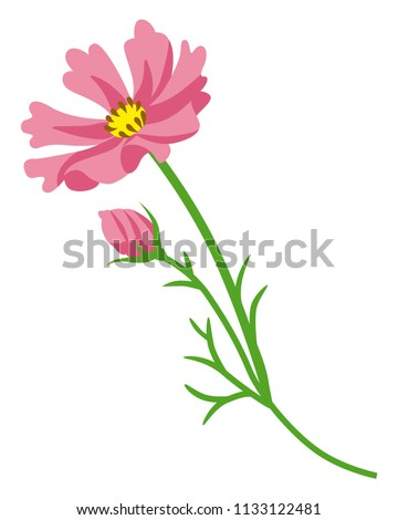 pink colored cosmos flower