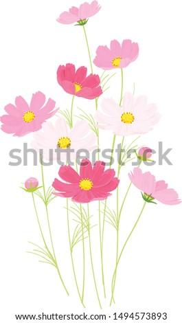 pink cosmos vector illustration