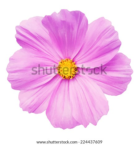 pink daisy flower isolated on