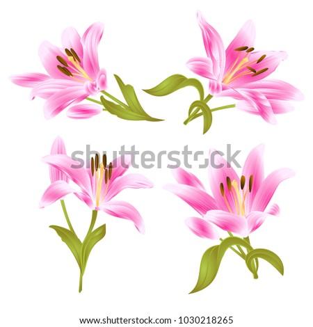 pink lily  lilium candidum