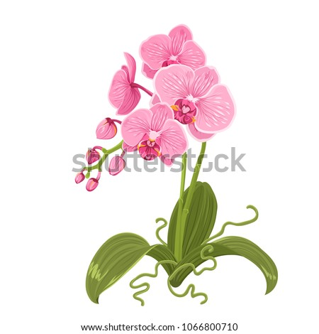 Pink purple orchid phalaenopsis exotic tropical flower inflorescence isolated on white background. Flowering plant with buds, stem, roots, green leaves. Detailed realistic vector design illustration.