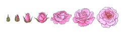 Pink rose blooming from closed bud to fully open flower. Hand drawn sketch style set. Vector illustration isolated on white background. Design elements for wedding decoration, tattoo, greeting cards.