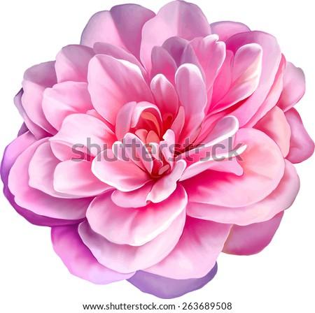 pink rose camellia flower