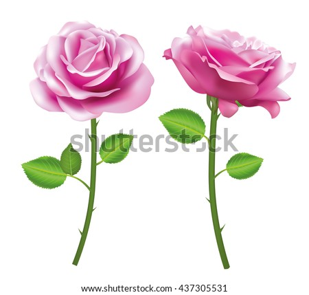 pink rose flower isolated on