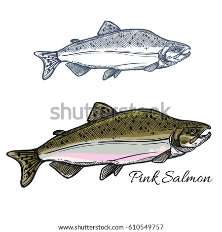 pink salmon fish sketch