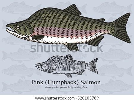 pink salmon  humpback salmon
