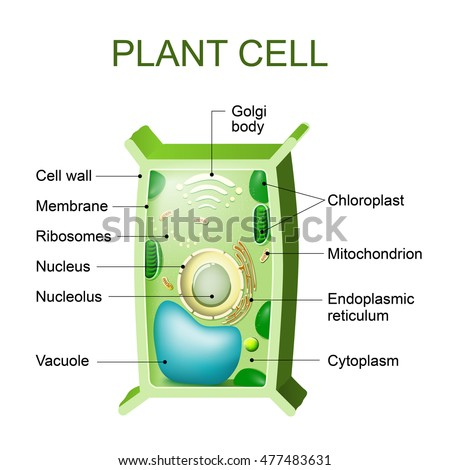 Vector Images, Illustrations and Cliparts: Plant cell anatomy. Cross ...