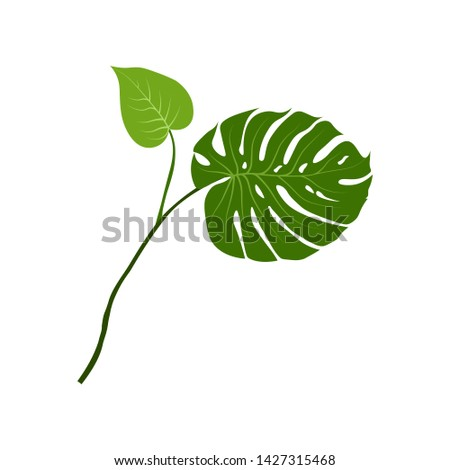 Plant Monstera. Real monstera leave isolated on white. Can be used to decorate a background, for composition design. Tropical, botanical nature concept ideas. Vector illustration.