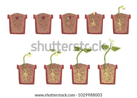plant seed growth  development