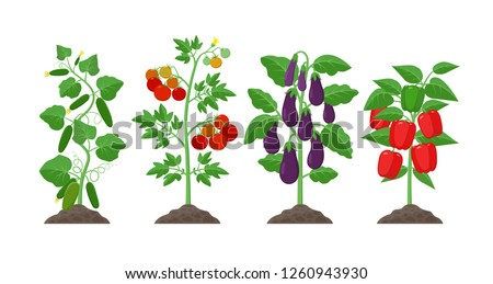 Planting and cultivation concept illustration in flat design. Cucumber, potato, eggplant, pepper plants with ripe fruits isolated on white background. Farming organic vegetables infographic elements.