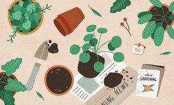 Planting, replanting and care about interior plants. Transplanting Pilea from one pot into another. Home gardening and horticulture. Colored flat vector illustration of houseplants cultivation