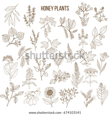 Plants - nectar sources for honey bees. Vector hand drawn set