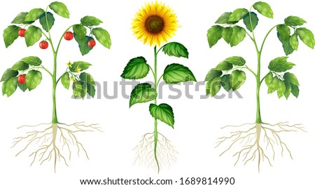 Plants with roots, stem, leaves and flowers. Tomato, sunflower. ストックフォト ©