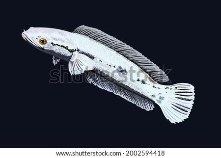 platinum toman, rare snakehead, exotic fish, aggressive fish, vector Imagine de stoc ©
