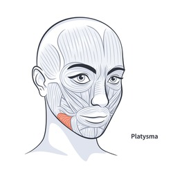 Platysma. Facial muscles of the female. Detailed bright anatomy isolated on a white background vector illustration