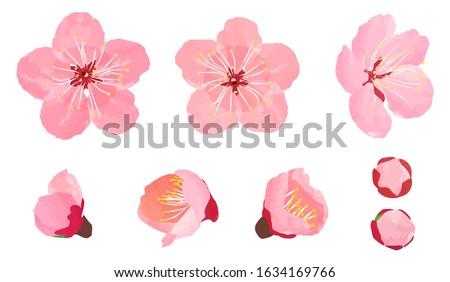 Plum blossom parts set, vector illustration Stock photo ©