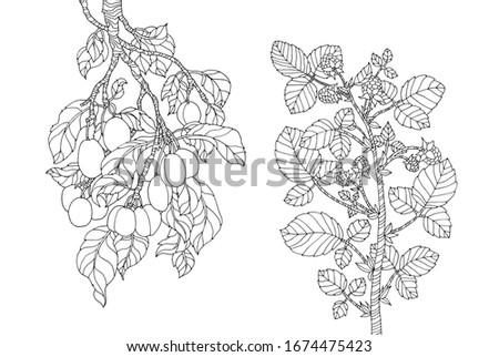 plum branch and raspberry bush