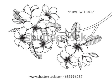 Plumeria Flowers Drawing And Sketch With Line Art On White Backgrounds