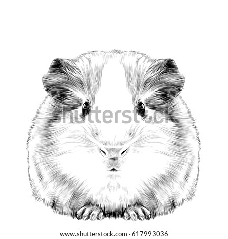 plump cute guinea pig  sketch