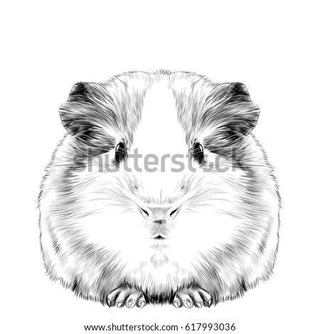 plump cute guinea pig  sketch
