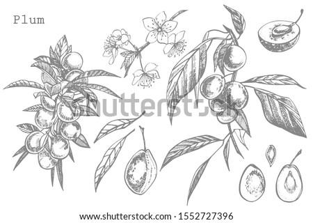 plums hand drawn illustration