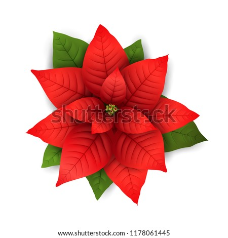 Poinsettia flowers isolated icon for Christmas or New Year greeting card design. Vector realistic poinsettia plant with star flower and leaf for Xmas winter holiday decoration