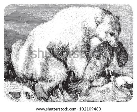 Polar bear (Ursus maritimus) / vintage illustration from Brockhaus Konversations-Lexikon 1908
