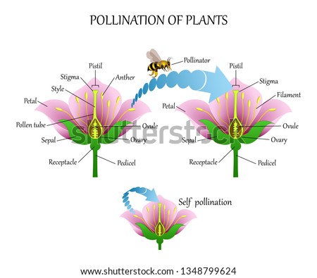 Pollinating plants with insects and self-pollination, flower anatomy education diagram, botanical biology banner. Vector illustration. Stock photo ©