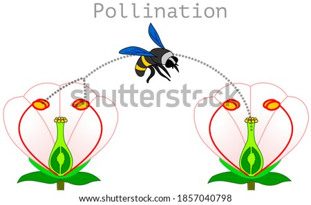 Pollination. pollen produced in the stamen of the plant is transported by bees or insects and adheres to the hillock of the carpel, stigma. Process diagram. Flower Illustration isolated Vector Stock photo ©