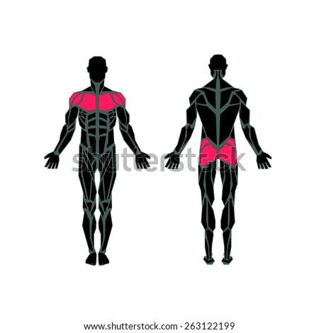 polygonal anatomy of male