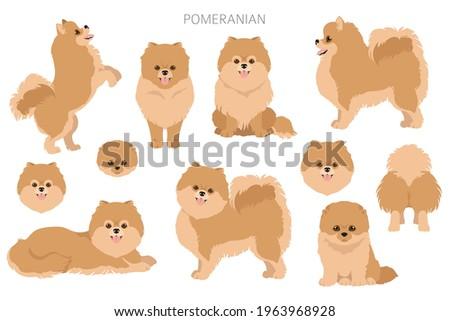 Pomeranian German spitz clipart. Different poses, coat colors set.  Vector illustration Stock foto ©