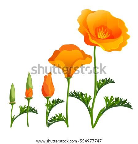 poppy ascending order or stages