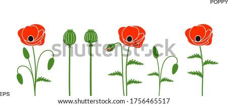 poppy flower isolated poppy