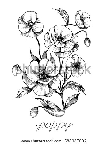 Poppy flowers. Vector sketch.  #588987002