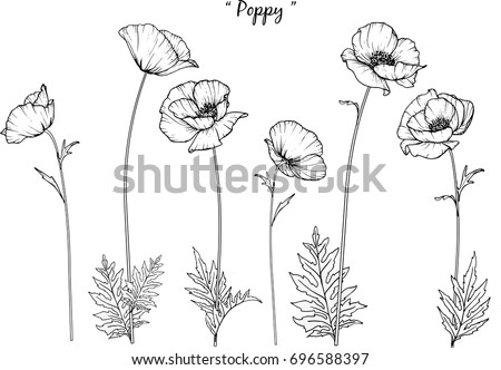 poppy  illustration on white