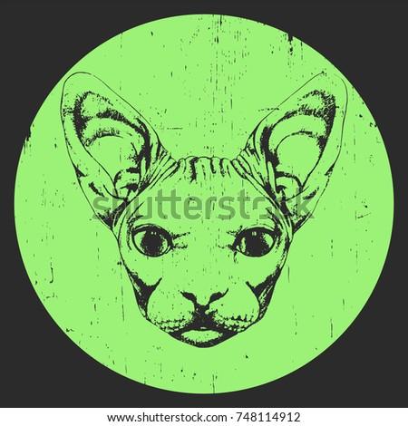 portrait of sphynx cat  hand