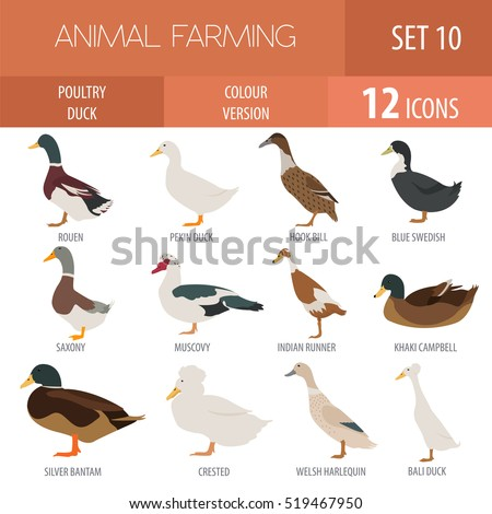 Poultry farm. Duck breeds isolated icon set. Flat design. Vector illustration