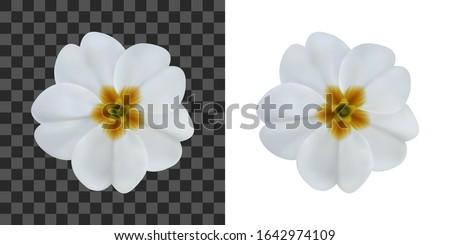 primula  primrose flower