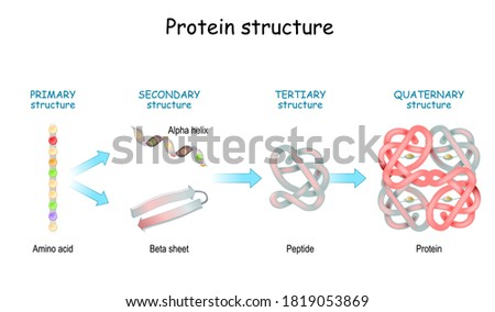 Protein structure levels: Primary, Secondary, Tertiary, and Quaternary. From Amino acid to Alpha helix, Beta sheet, peptide, and protein molecule. concept. Vector illustration.