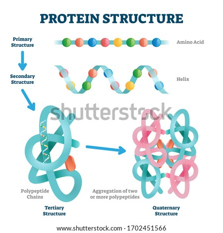Protein structure vector illustration. Labeled amino acid chain molecules types scheme. Educational collection with various primary structure, helix, polypeptide tertiary and quaternary levels closeup