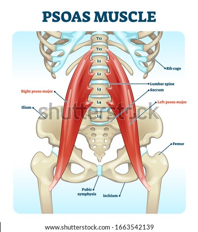 Psoas muscle medical vector illustration diagram. Lumbar spine and psoas major attached from discs to femur bones. Hip pain problem and hurting lower back. Fitness or chiropractic therapy information. ストックフォト ©