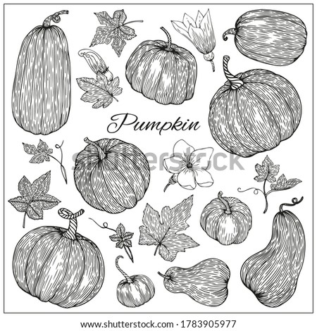 Pumpkins, butternut squash and gourd. Hand drawn vector illustration. Black and white sketch style. Autumn gourd harvest agriculture and farm isolated design elements. Farm market items. Photo stock ©
